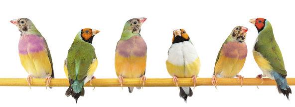Gubar Birds
